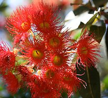 Red Flowering Gum by glenlea
