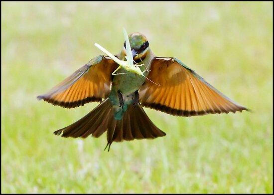 Rainbow Bee-Eater 76 by John Van-Den-Broeke
