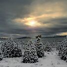 Fir Trees and Snow by Charles & Patricia   Harkins ~ Picture Oregon
