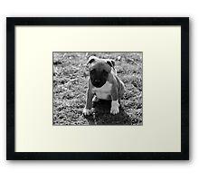 Staffordshire Bull-Terrier Puppy Framed Print