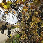 Wild grapes by Heather Crough