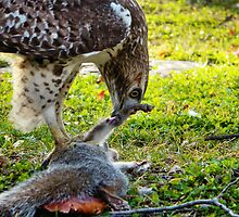 A hawk and it's meal by MCloutier85