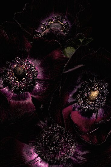 Gothic Anemones by Ann Garrett