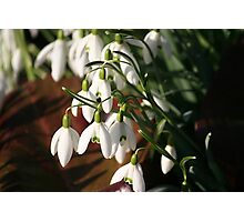 Spring Snowdrops 2 Photographic Print