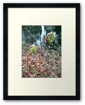 CINNAMON FERNS UNFOLDING by May Lattanzio