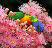 Classic Rainbow Lorikeet ! by jozi1