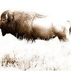 Bison 7 by Miles Glynn