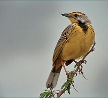 Yellow-throated Longclaw by Steve Archer