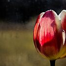 Red &amp; Tulip by michelsoucy