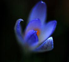 Blue Crocus by rosie320d