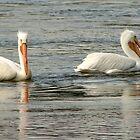 Pelicans by Carolyn  Fletcher