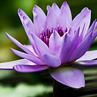 Purple Water Lily by Carol F. Austin