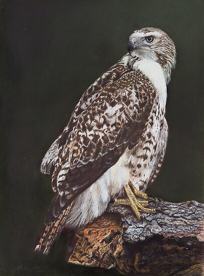Juvenile Red-Tailed Hawk by Marlene Piccolin