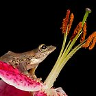 Malaysian flying frog by AngiNelson