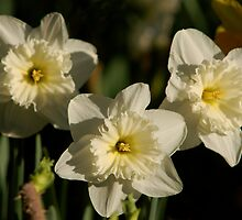 Pale Yellow Daffodils by teresalynwillis