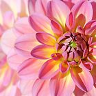 Pink and yellow Dahlia flowers Close Up by Kerry McQuaid