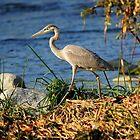 Great blue heron by Rob  Stanard