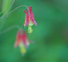 Eastern Red Columbine by Dana Fazzino