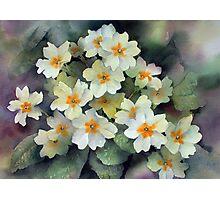 Spring Primroses Photographic Print