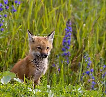 Red Fox Kit by michelsoucy