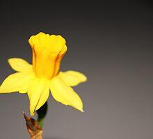 The singing Daffodil  by marshmallowfluf