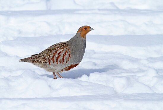 Gray Partridge by Bill McMullen