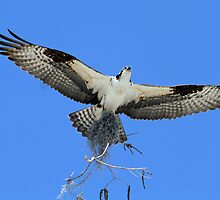 Ospreys return to rebuild nest! by jozi1