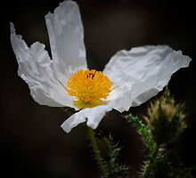 Prickle Poppy by George I. Davidson