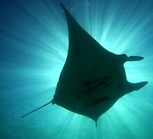 Manta Sunburst by paulmarkey