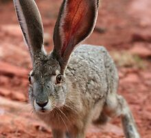Desert Jackrabbit by paulmarkey