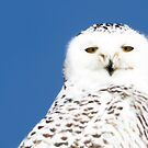 Snowy Owl stare by michelsoucy