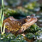 Common frog in pond by AngiNelson