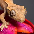 Baby Crested gecko approaching by Angi Wallace