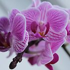 Mini Orchid by karina5