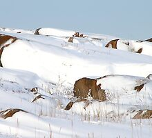 Snowed Rocks, Churchill, Canada by Carole-Anne