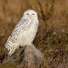 Snowy Owl perched on a rock by michelsoucy