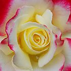Rose Macro by YingDude