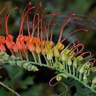 Grevillea bipinnatifida by andrachne