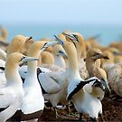 A GANNET GATHERING - CAPE GANNET - {Morus capensis} by Magaret Meintjes
