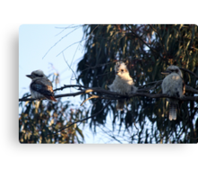 Three wise kookaburras Canvas Print
