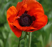 Poppy Garden by Diane E. Berry