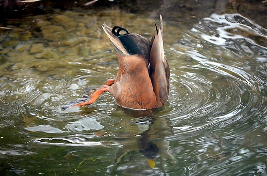 Diving Duck by anchorsofhope
