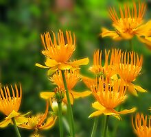 Trollius by Irina777