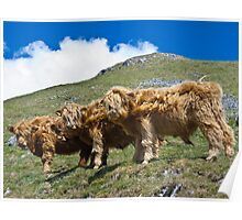 Highland cattle all in a row Poster