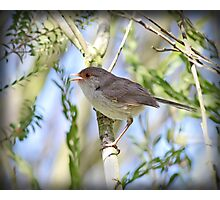 ~ Song Bird ~ Photographic Print