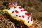 Chromodoris splendida off Bare Island, Botany Bay by Erik Schlogl