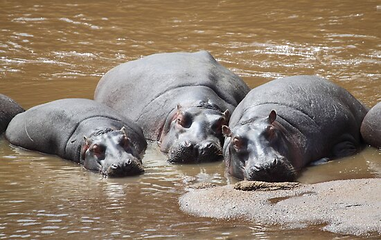 Hippos in The Mara by Carole-Anne