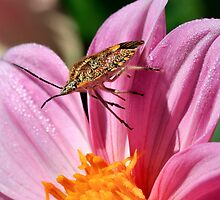 Sunflower seed bug by Ann  Palframan