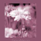Cornflower in Sepia by Karen Lewis
