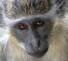 Green Velvet Monkey(Gambia) by Hovis